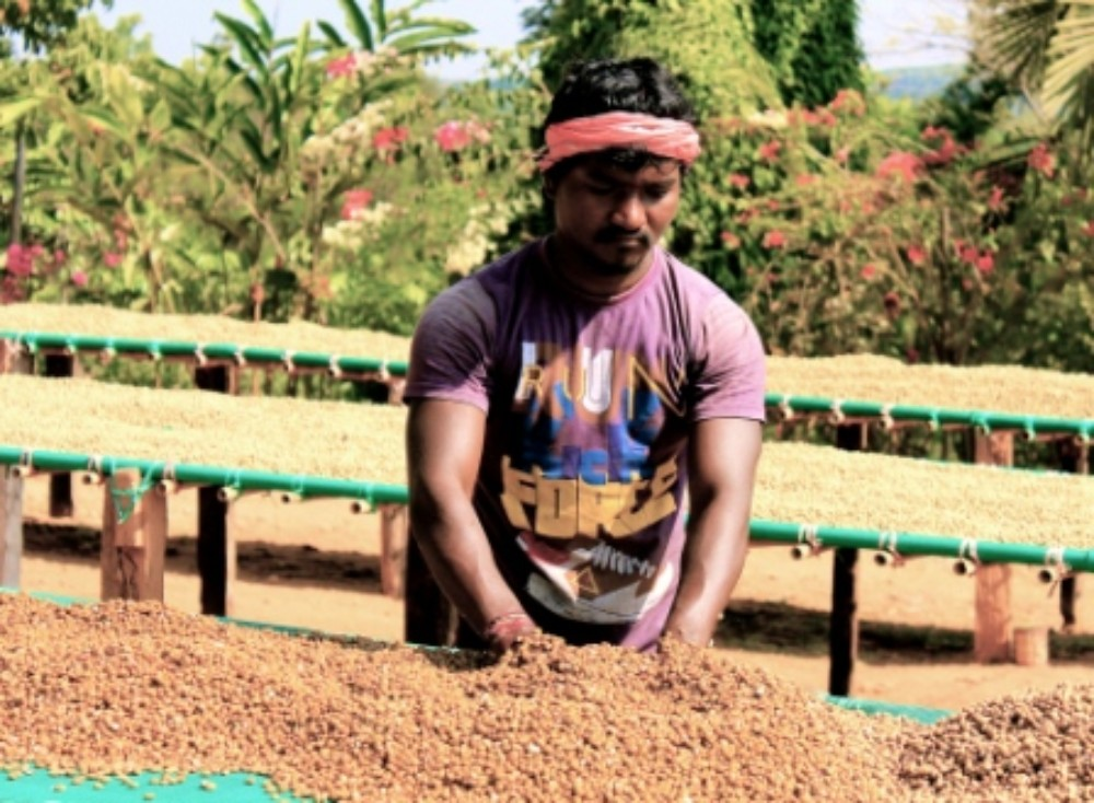 Harley Estate parchment coffee drying in African beds