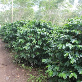 Background image for Kongo Coffee Limited