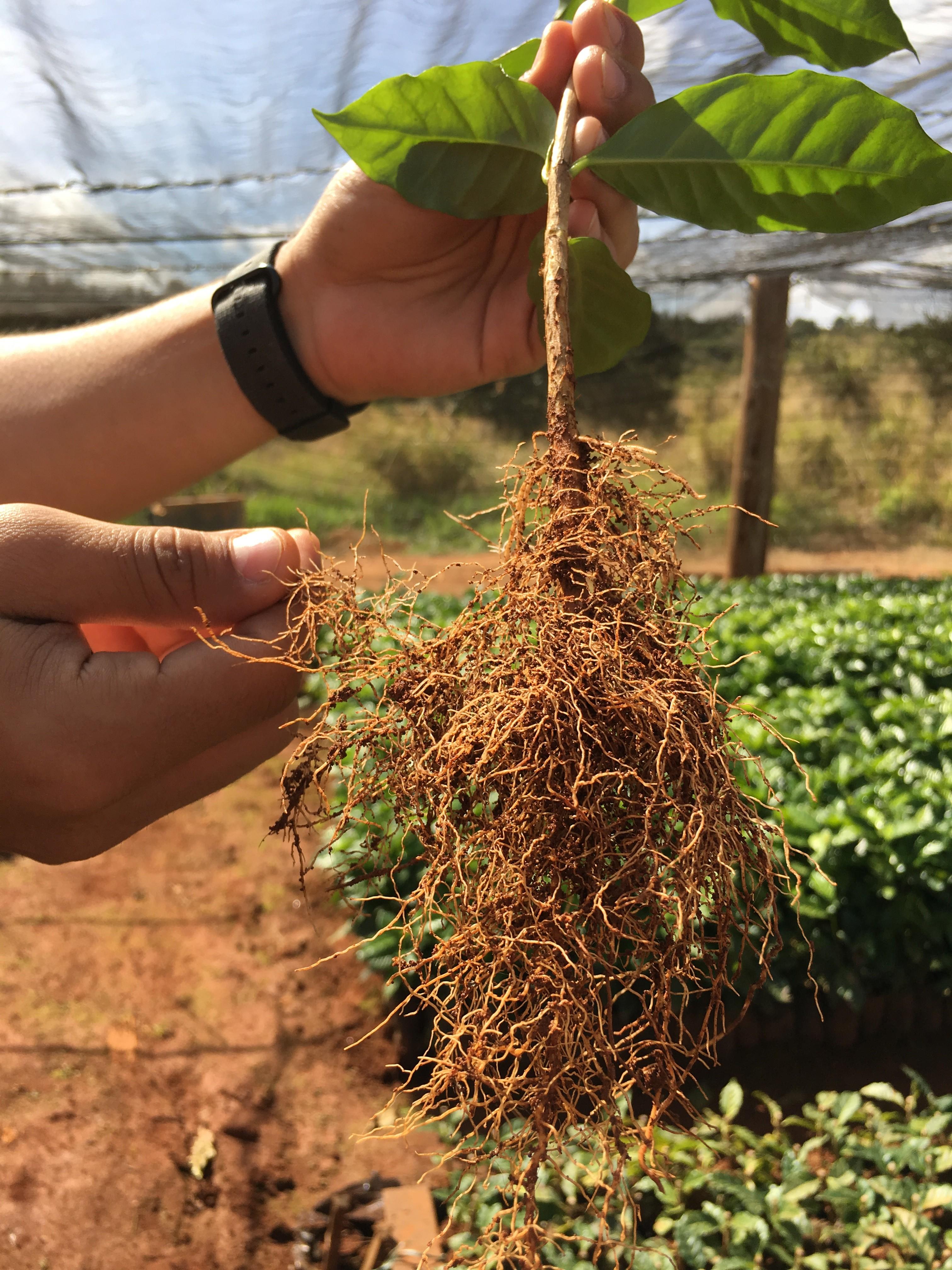 A Coffee Story Growing Green Coffee Drwakefield