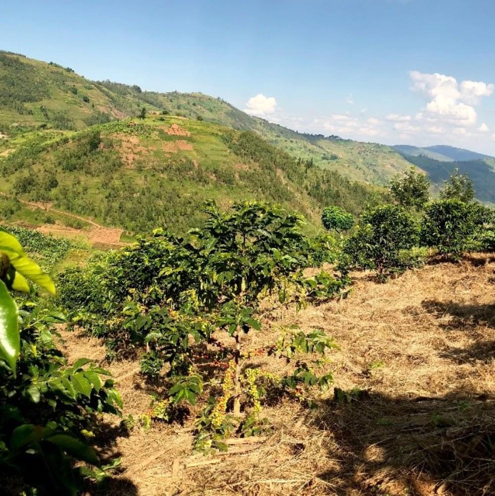 Mulching Coffee plants