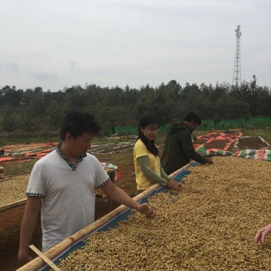 Myanmar Shwe Ywar Ngan drying coffee beans