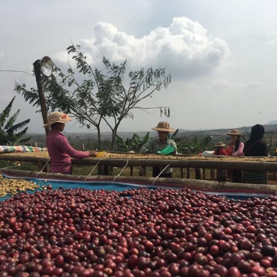 Myanmar Shwe Ywar Ngan coffee cherry drying natural