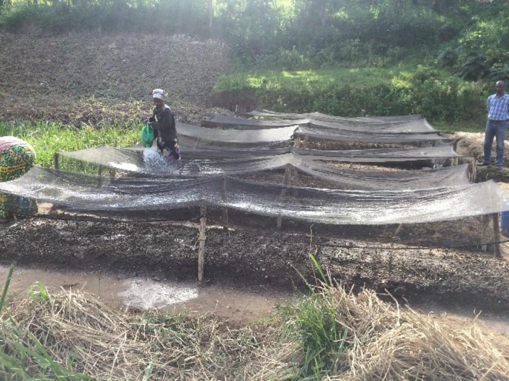 Nursery beds of Kopakaki