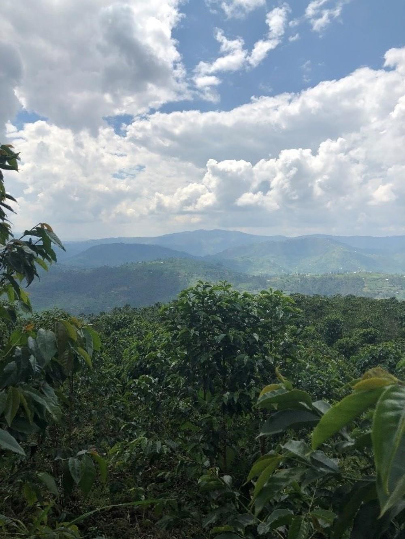 Coffee plants Rwanda
