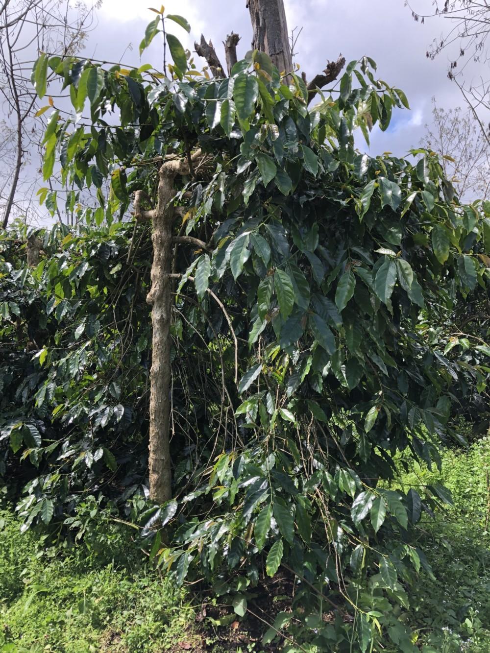 Wahana Coffee Estate Sumatra