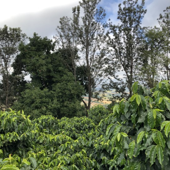 Brazil coffee farm Corrego Grande