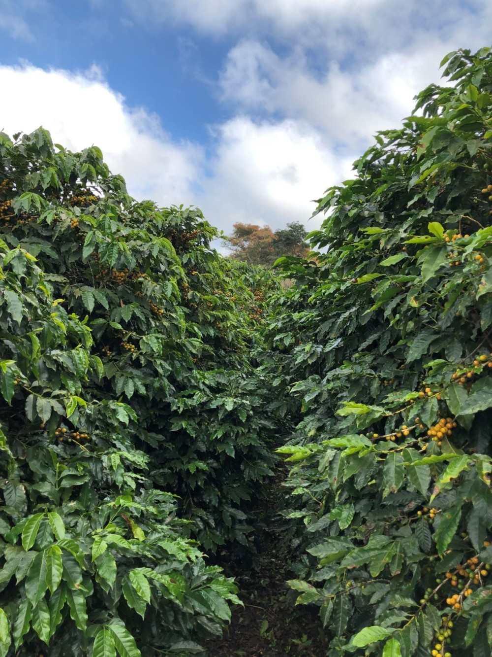 Brazil Coffee Farm Corrego Grande