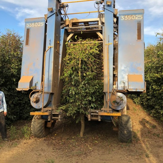 Daterra Farm selective mechanical harvesting machine