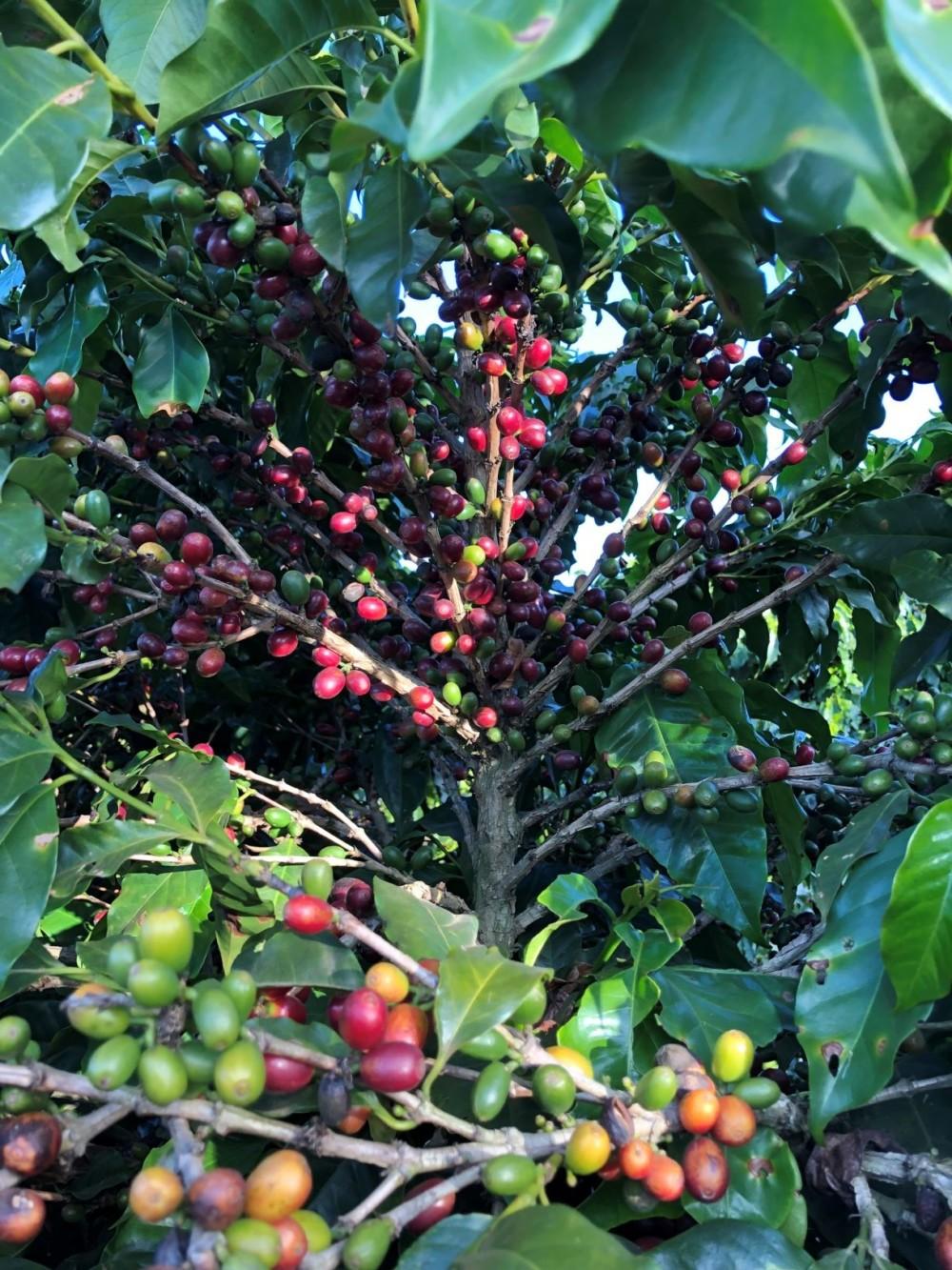Ripening coffee cherries Daterra Farm Brazil