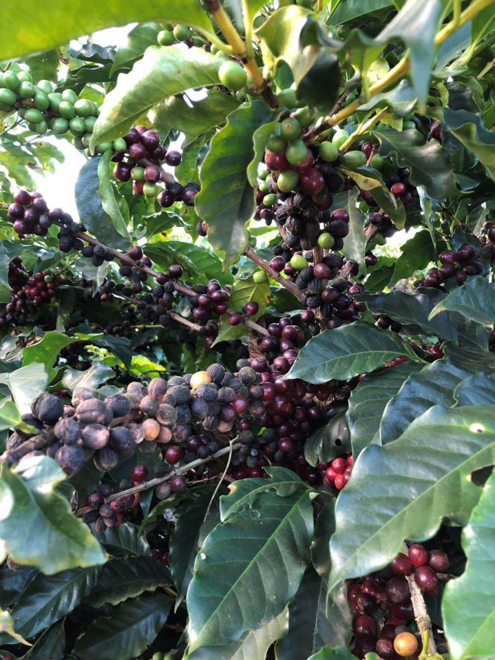 Ripening coffee cherries on Daterra farm Brazil
